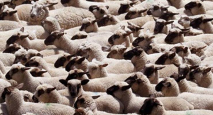 В Турции стадо овец совершило массовое самоубийство