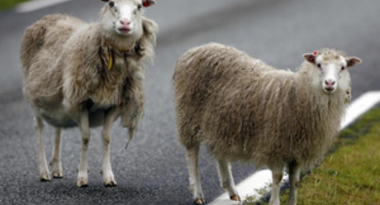 """Водители в Мельбурне попали под """"дождь из овец"""""""
