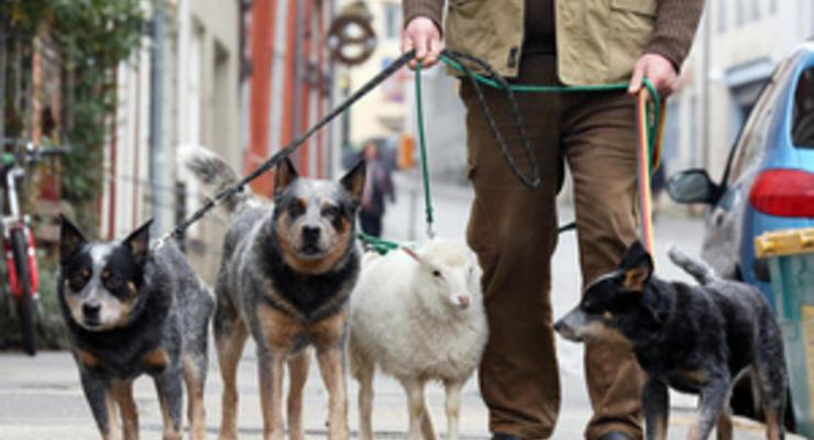 В Германии живет овца, которая считает себя собакой