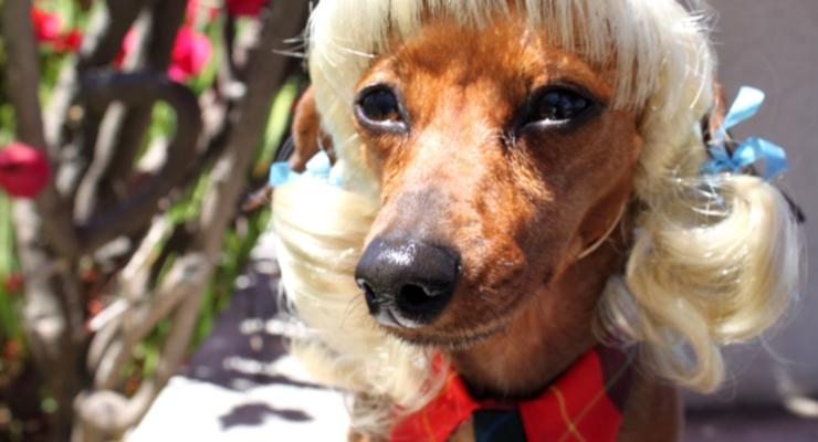 Собачья мода: парики и костюмы для домашних любимцев (ФОТО)