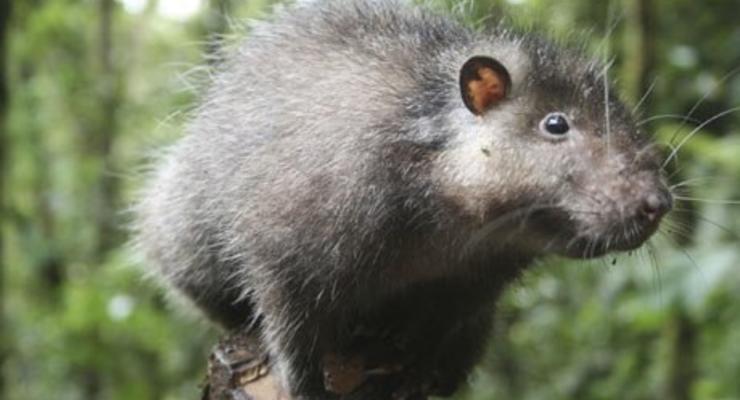 Чудовищный размер: В Китае изловили гигантскую крысу (ФОТО)