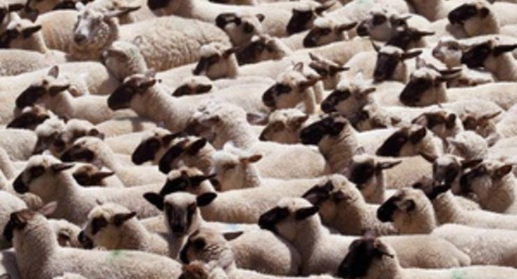 Украинско-молдавскую границу из-за уснувшего пастуха нелегально пересекли 150 овец