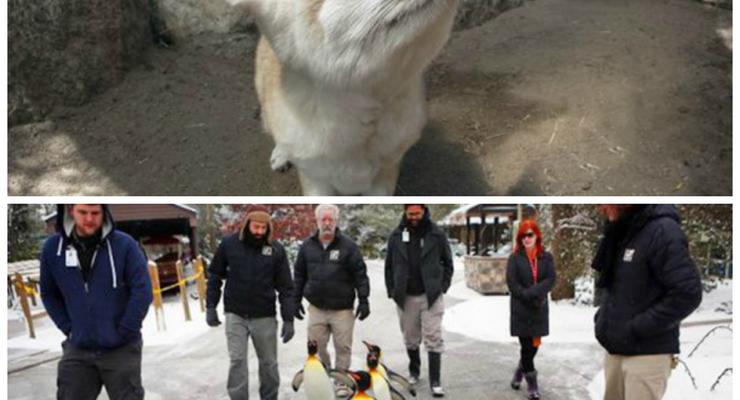 Животные недели: лиса-ушастик и пингвины на прогулке