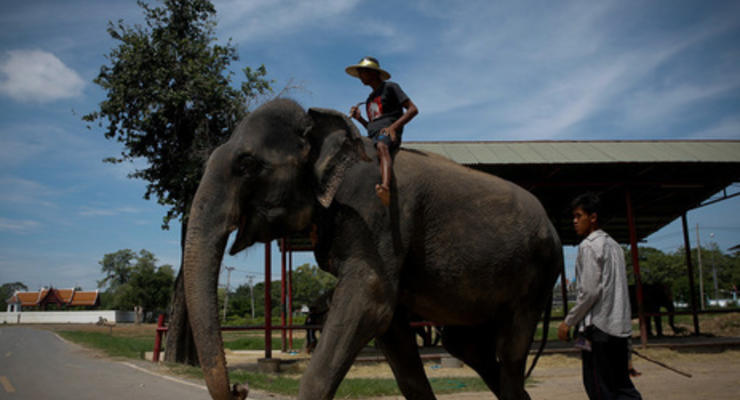 В Таиланде слон убил туриста из Шотландии