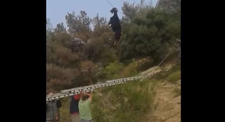 В Греции коза повисла рогами на электропроводе