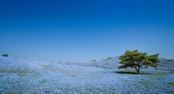 Чарующая красота: в Японии зацвели поля в национальном парке Хитачи-Сисайд