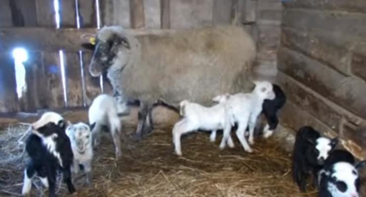 В Литве овца родила рекордное количество ягнят