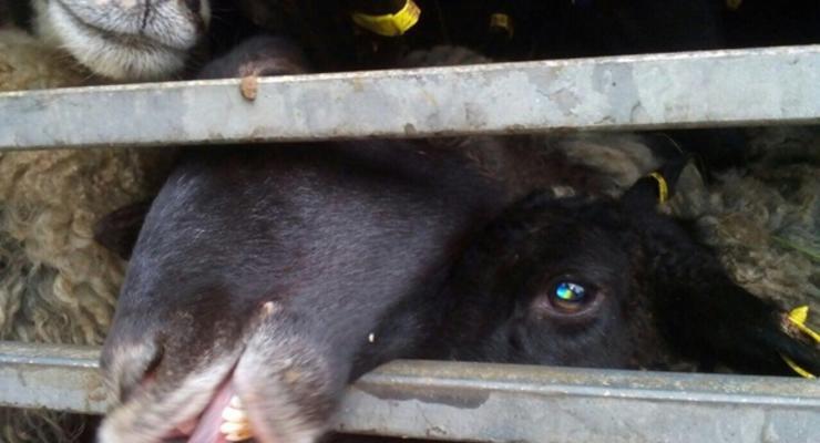 У овец, умиравших в порту Черноморска, не нашли опасных болезней