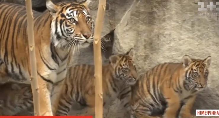 В зоопарке Берлина показали редких тигрят