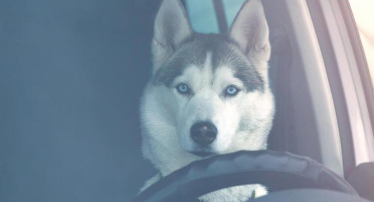 В РФ пьяный водитель пытался убедить полицию, что за рулем была собака