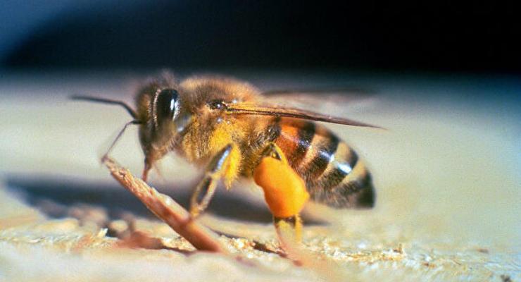 В Калифорнии из-за роя 40 тыс пчел-убийц закрыли улицу