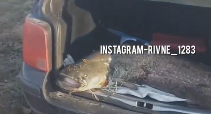 Ровенский рыбак достал из речки двухметрового сома