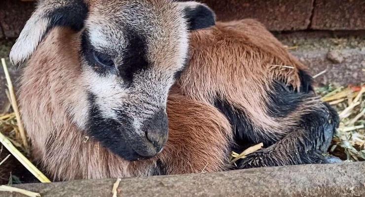 В Одесском зоопарке родились камерунские овцы
