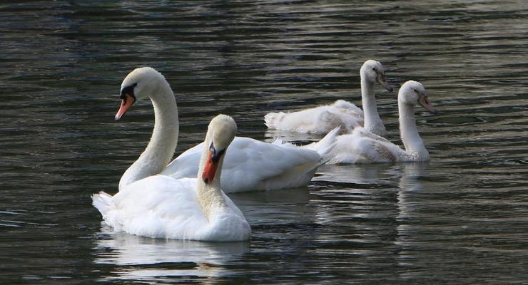 Названа причина массовой гибели лебедей на Херсонщине