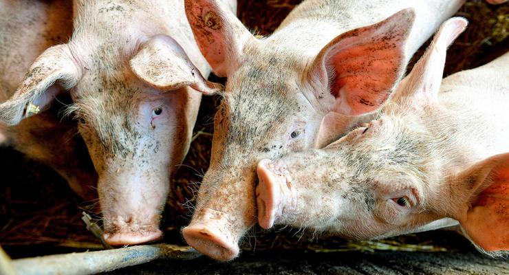 На Буковине произошла вспышка чумы свиней