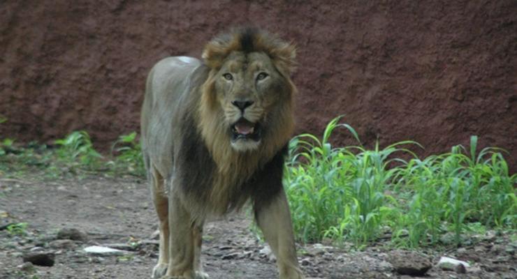 В Индии восемь львов заразились коронавирусом