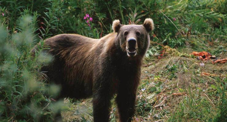 Убили корову и свиней: На Прикарпатье медведи разоряют селян