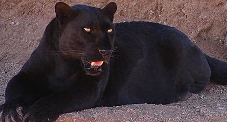 Под Полтавой на мужчину напала пантера: пострадавший в больнице