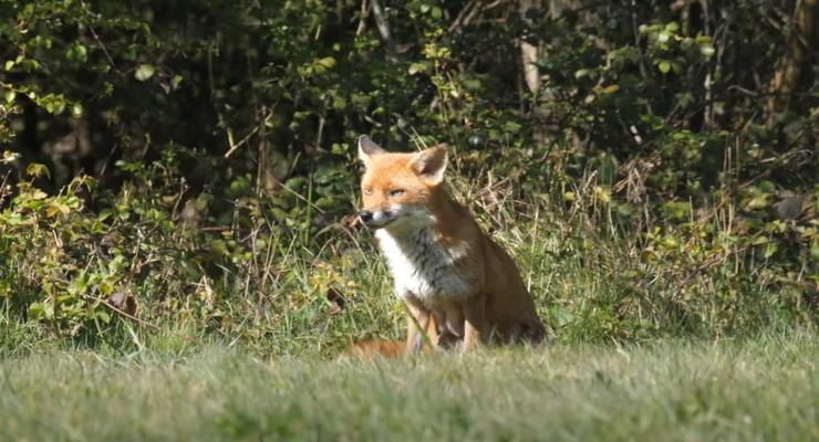 На Прикарпатье в селе ввели карантин из-за лисы