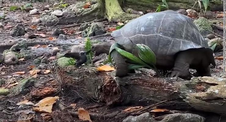 Гигантская черепаха напала на птенца и съела его