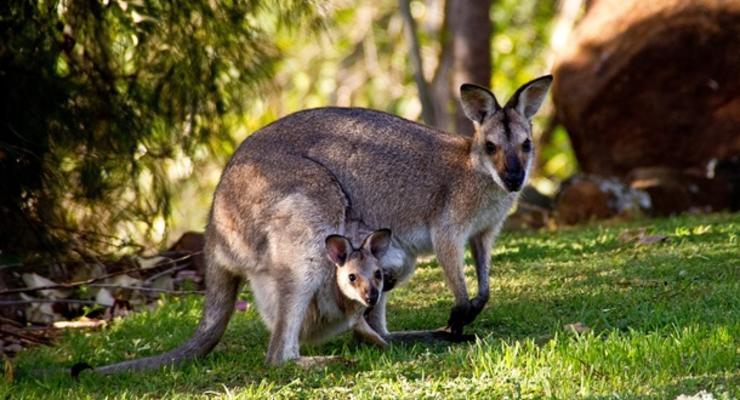 В Австралии двух подростков будут судить за убийство 14 кенгуру